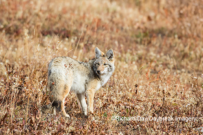 01864-03410 Coyote (Canis latrans) Yellowstone National Park, WY