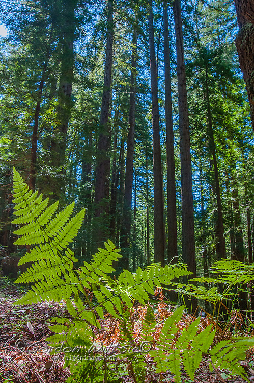 Sunlight glows through fern leaves on the floor of a redwood forest in the Santa Cruz Mountains iof California's San Francisco Bay Area.