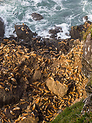 "A colony of wild steller sea lions (Eumetopias jubatus) rests below the ""Lighthouse & Sealion Beach Vantage Point"" on the Oregon coast, USA."