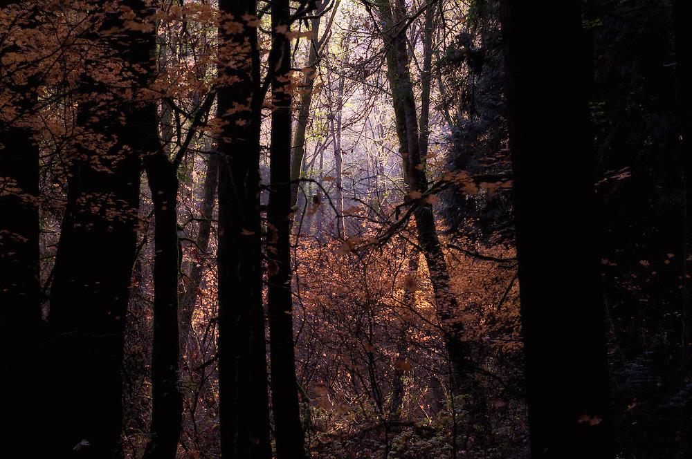 Photo of autumn color of Vine Maple (Acer circinatum) in Forest Park, Portland, Oregon.