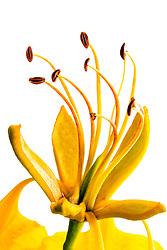 Royal Poinciana -yellow#28