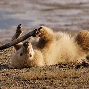 Alaskan Brown Bear (Ursus middendorffi) cub playing with a stick, rolling on its back. Katmai National Park, Alaska