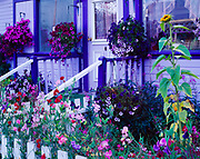 """Petunia baskets and sweet peas decorating home of Elana and Albert Fhure on Second Avenue in Dawson City, Yukon Territory, Canada.  Home now owned by Meagan Waterman and operating as the """"Fashion Nugget"""" store."""