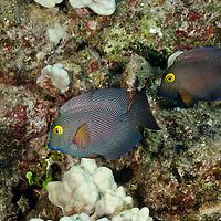 Goldring Surgeonfish, Maui Hawaii