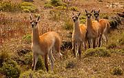 Guanaco (Lama guanicoe)  youngsters, Parque Nacional Torres del Paine, Patagonia, Chile.
