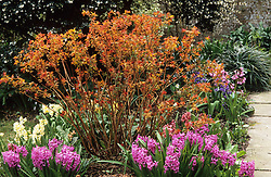 Spiraea japonica 'Goldflame' with it's young spring foliage colouring, underplanted with Hyacinthus 'Splendid Cornelia'.