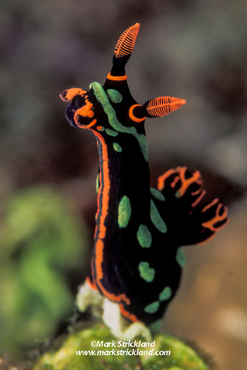 A colorful nudibranch, Nembrotha kubaryana, stands tall, probably sampling scent trails to locate prey or a mate. Komodo National Park, Indonesia, Pacific Ocean