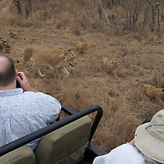 Safari guests photographing a female African Lion with her young cubs. Londolozi Private Game Reserve. South Africa