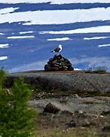 Great Black-backed Gull (Larus marinus). Akureyri, Iceland. Image taken with a Nikon Df camera and 300 mm f/2.8 VR lens.