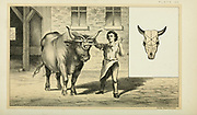 Cattle Slaughtering Swiss Method of a nail through the skull from Cattle and dairy farming. Published 1887 by Govt. Print. Off. in Washington. United States. Bureau of Foreign Commerce (1854-1903)