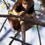Tree Kangaroo, (Dendrolagus matschiei goodfellowi) New Guinea.
