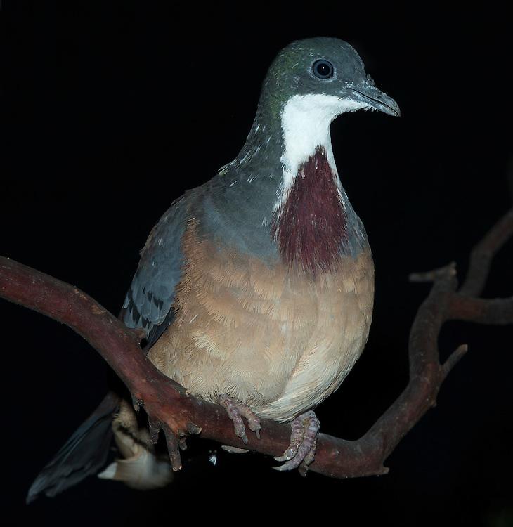 Bartlett's Bleeding Heart Dove, (Gallicolumba crinigera), captive, credit: Pandemonium Aviaries/M.D.Kern