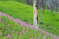 New growth in burned out Floe Creek Valley, Kootenay National Park British Columbia Canada