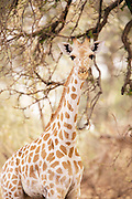 A giraffe seen in Waza National Park, in the north of Cameroon