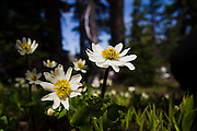 Spring daisies emerge in the shadows of pine trees, Goat Rocks Wilderness, Washington.