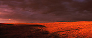 Best-selection-of-panoramic-photo-decor-online-by-Randy-Wells-travel-photographer-videographer, Image of cattle grazing on the National Grasslands near Haynes, North Dakota, American Midwest
