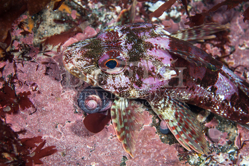 Bovichtus variegatus (Thornfish) at the subantarctic Antipodes Islands, New Zealand. Tuesday 11 March 2014<br /> Photograph Richard Robinson © 2014<br /> Dive Number: 505<br /> Site: Landing Hut Cove, Antipodes Islands<br /> Time: 15:27<br /> Maximum Depth: 10 meters<br /> Bottom Time: 33 minutes<br /> Bottom Time to Date: 34,161minutes<br /> Cumulative Time: 34,194minutes
