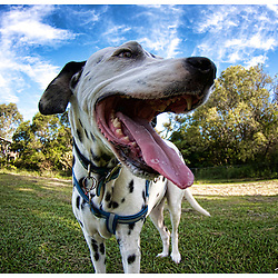 Animal Photography by Jaydon Cabe, dalmatians, Terrier cross cattle dog, and a beagle Pup.