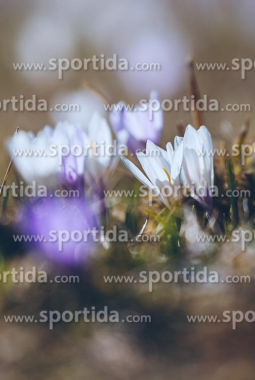 THEMENBILD - lila und weiße Krokusse (Iridaceae) blühen auf einer Wiese, aufgenommen am 30. März 2019, Kaprun, Österreich // purple and white crocuses (Iridaceae) blooming on a meadow on 2019/03/30, Kaprun, Austria. EXPA Pictures © 2019, PhotoCredit: EXPA/ Stefanie Oberhauser
