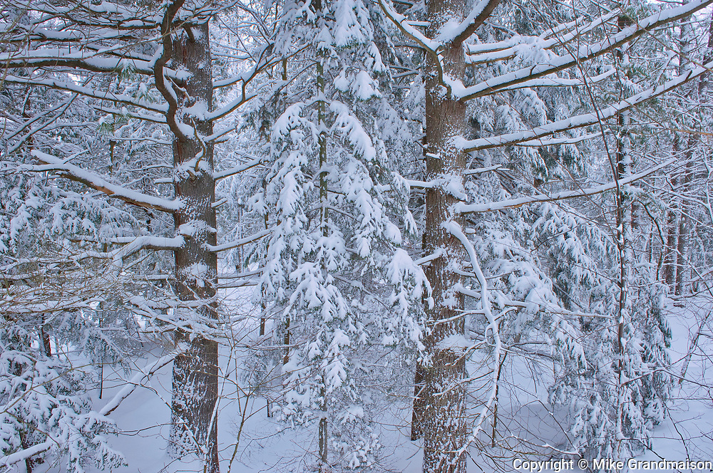 Snow on trees along the The North Branch of the Muskoka River at Wilson's Falls. Muskoka Country.<br />Bracebridge<br />Ontario<br />Canada