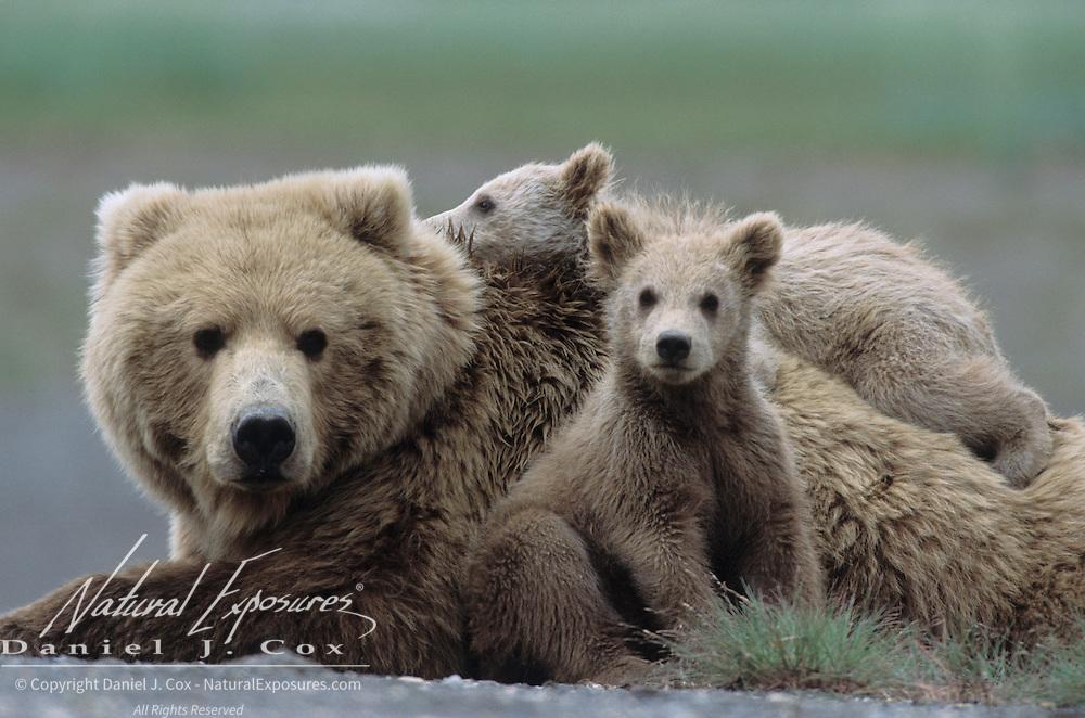 Alaskan Brown Bear (Ursus middendorffi) mother resting with two young cubs. Katmai National Park, Alaska