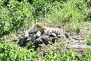 Africa, Tanzania, Serengeti National Park, Leopard (Panthera pardus) Awaiting prey