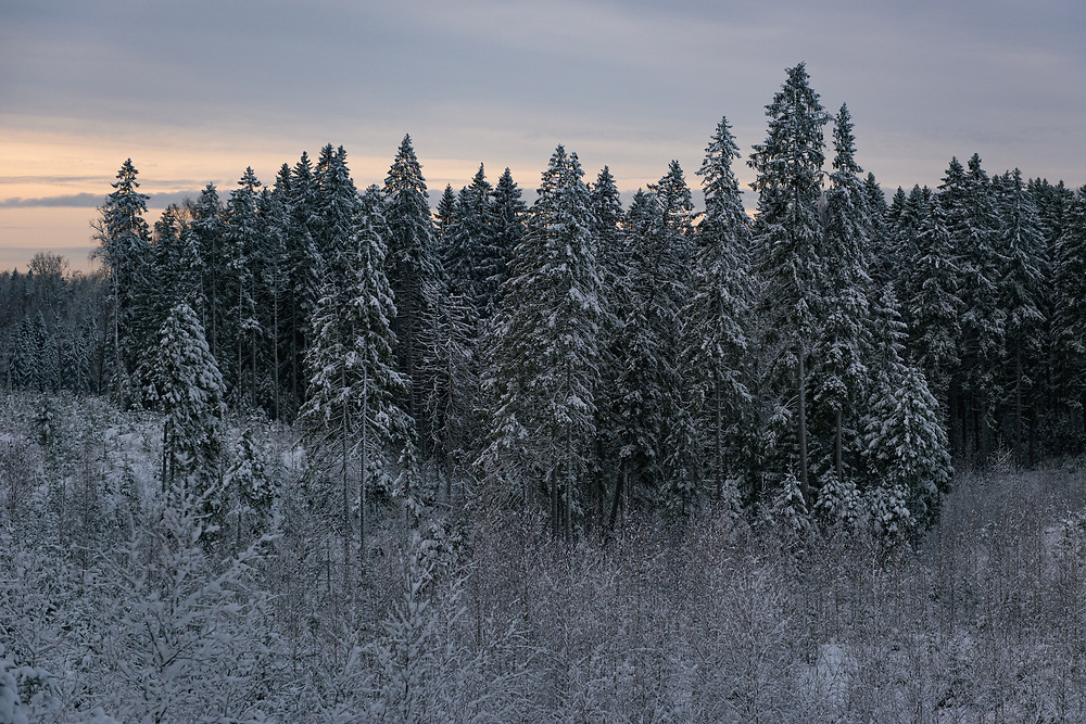 A group of snow covered spruce trees (Picea abies) bordering with forest clearings overgrown with young birch trees on winter day in forests near Līgatne river, near Nītaure, Vidzeme, Latvia Ⓒ Davis Ulands   davisulands.com