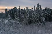 A group of snow covered spruce trees (Picea abies) bordering with forest clearings overgrown with young birch trees on winter day in forests near Līgatne river, near Nītaure, Vidzeme, Latvia Ⓒ Davis Ulands | davisulands.com