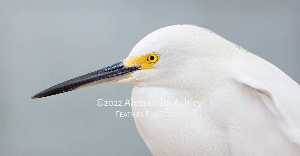Close profile view of snowy egret (Egretta thula) against ocean background.  The snowy egret is a small white heron with immaculate white feathers setting off yellow facial features.  Its feet are a matching yellow. Lighthouse beach, Sanibel Island, FL. Semifinalist, 2015 Share the View nature photography competition by Audubon Society of Greater Denver.