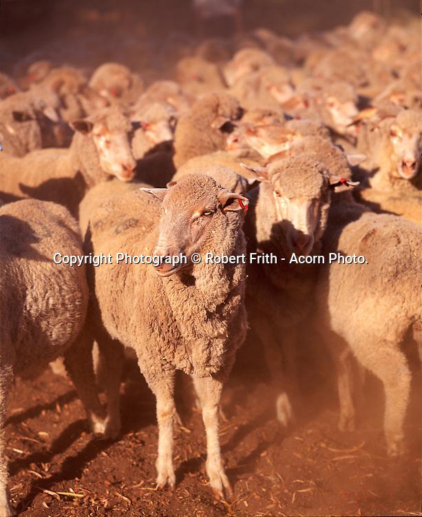 Fine wool Merino muster - Park Farm