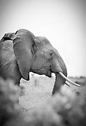 An African Elephant in the Maasai Mara National Reserve, Kenya