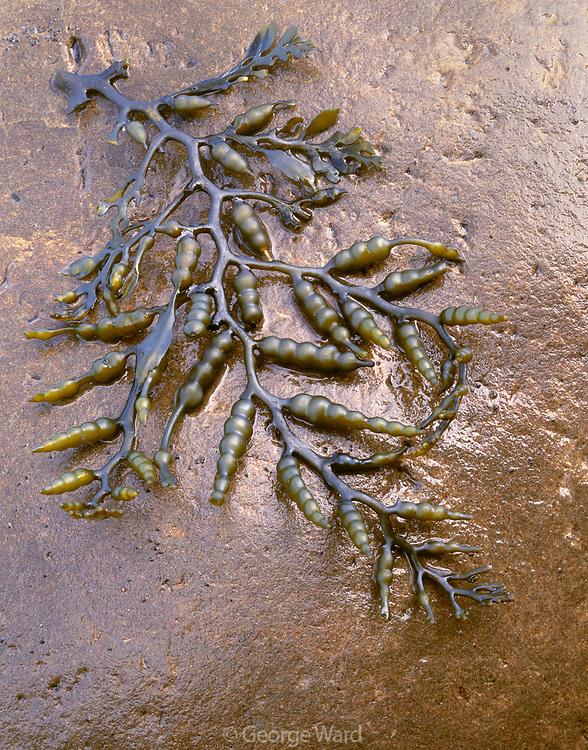 Sea Plant at Tideline,The Lost Coast,Sinkyone Wilderness State Park, California