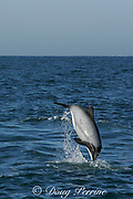 Hector's dolphin, Cephalorhynchus hectori, jumping and flipping, Endangered Species, endemic to New Zealand, Akaroa, Banks Peninsula, South Island, New Zealand ( South Pacific Ocean )