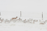 Herd of pronghorn antelope during a winter blizzard in Wyoming