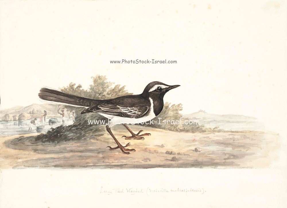 The white-browed wagtail or large pied wagtail (Motacilla maderaspatensis) is a medium-sized bird and is the largest member of the wagtail family. They are conspicuously patterned with black above and white below, a prominent white brow, shoulder stripe and outer tail feathers. White-browed wagtails are native to South Asia, common near small water bodies and have adapted to urban environments where they often nest on roof tops. The specific name is derived from the Indian city of Madras (now Chennai). 18th century watercolor painting by Elizabeth Gwillim. Lady Elizabeth Symonds Gwillim (21 April 1763 – 21 December 1807) was an artist married to Sir Henry Gwillim, Puisne Judge at the Madras high court until 1808. Lady Gwillim painted a series of about 200 watercolours of Indian birds. Produced about 20 years before John James Audubon, her work has been acclaimed for its accuracy and natural postures as they were drawn from observations of the birds in life. She also painted fishes and flowers. McGill University Library and Archives