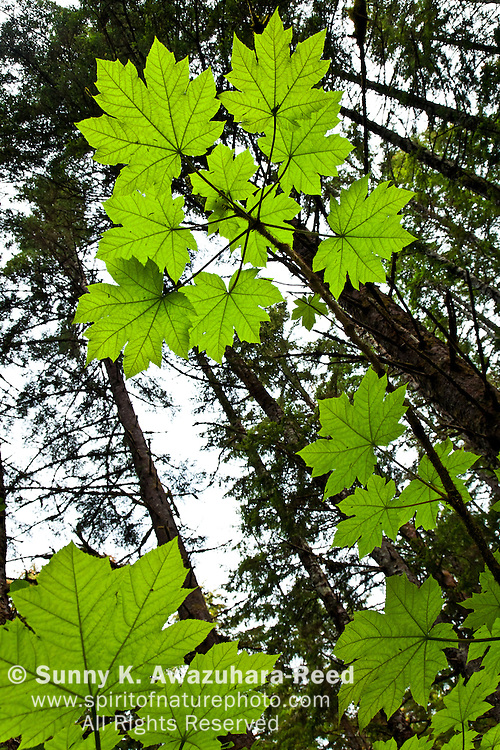 Looking up the stock of Devil's Club growing high in the temperate rainforest, Bartlett Cove, Glacier Bay National Park & Preserve, SE Alaska, summer.