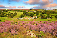 Heather blooming on the Eskdale valley moor. Castleton , Eskdale, North Yorks National Park, North Yorkshire, England .<br /> <br /> Visit our MEDIEVAL PHOTO COLLECTIONS for more   photos  to download or buy as prints https://funkystock.photoshelter.com/gallery-collection/Medieval-Middle-Ages-Historic-Places-Arcaeological-Sites-Pictures-Images-of/C0000B5ZA54_WD0s