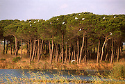 SPAIN, ANDALUSIA La Doñana National Park; egrets