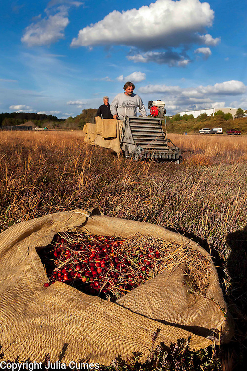 """Ray Thacher and Richie Gault use """"dry pickers"""" to dry pick cranberries. The berries are put into burlap sacks and then dumped into containers. Dry berries are sold bagged at the grocery store for use in fresh recipes."""