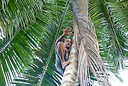 Cuban man with six fingers climbs up a coconut tree