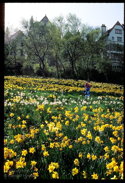 Man carries daughter on shoulders in daffodil field in Princes Street Gardens; Edinburgh. Scotland