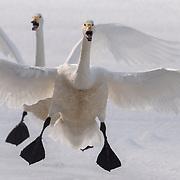 A pair of whooper swans (Cygnus cygnus) in flight. Lake Kussharo, Hokkaido, Japan