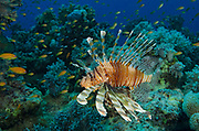 Red lionfish, Pterois volitans, hunting on coral reef in Red Sea, Egypt