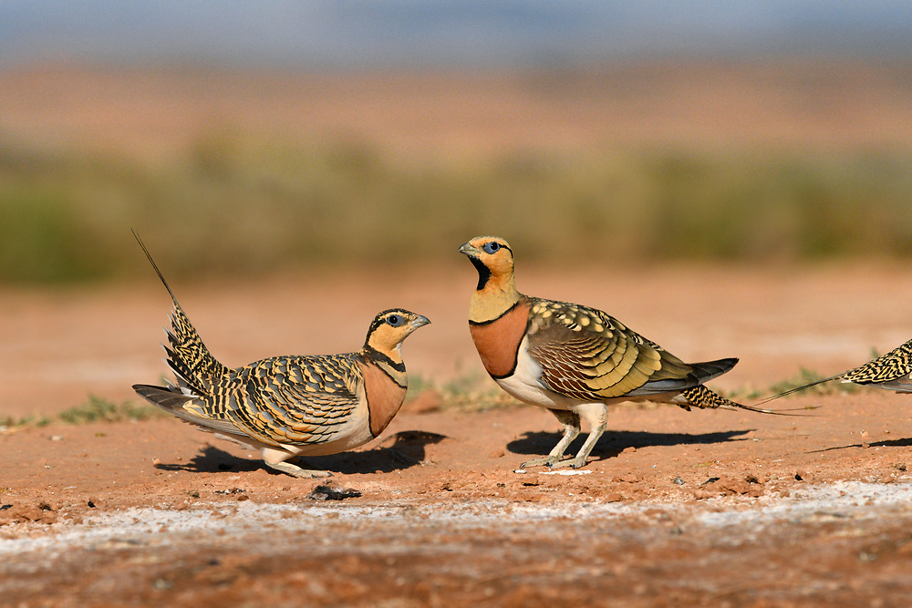 Pin-tailed Sandgrouse - Pterocles alchata<br /> female-left<br /> male-right