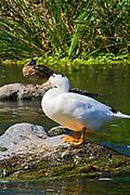 Pekin Duck on Los Angeles River, Glendale Narrows, Elysian Valley, Los Angeles, California, USA