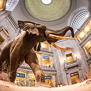 A large elephant dominates the main rotunda of the Smithsonian Museum of Natural History on the National Mall in Washington DC.