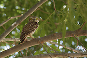 The Little Owl (Athene noctua) in a tree This small owl reaches up to 25 centimetres in lengt Photographed in Israel in July