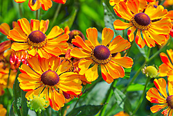 Close-up of orange summer helenium flowers growing  in park, Berlin, Germany