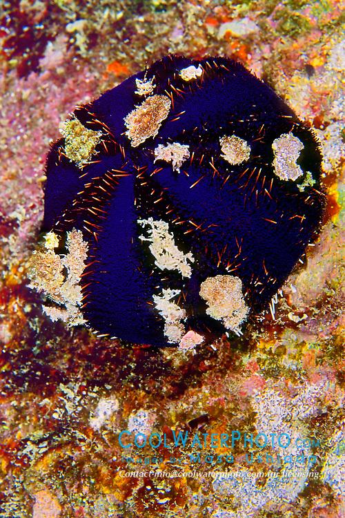Collector sea urchin, Tripneustes gratilla, camouflaged, Kona Coast, Big Island, Hawaii, Pacific Ocean