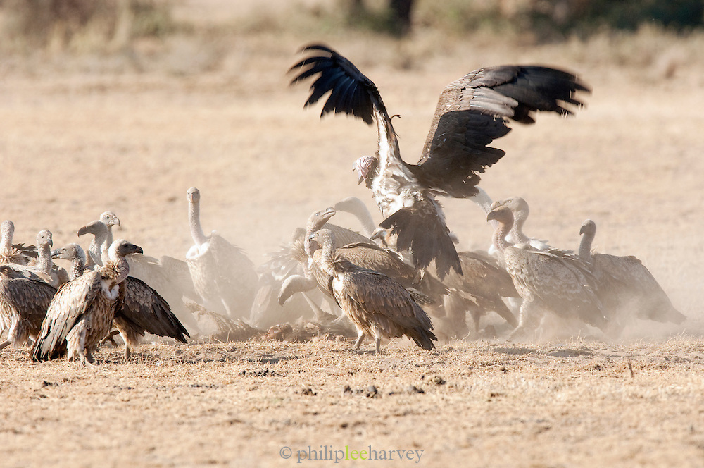 African White Backed Vultures scavenging on animal carcass in Amboseli National Park, Kenya